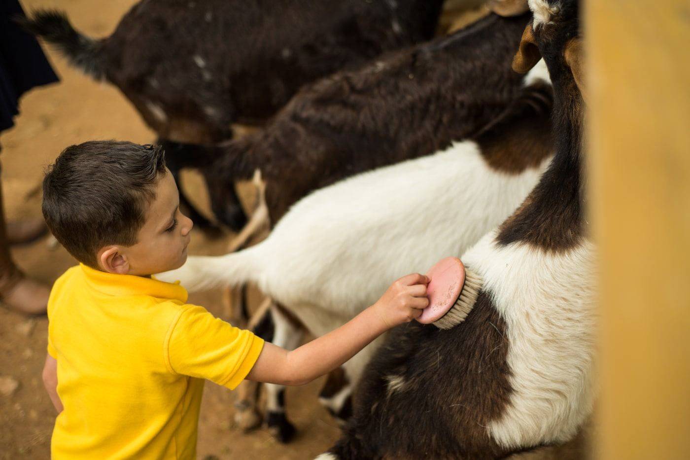 boy brushes cow during GA portrait session