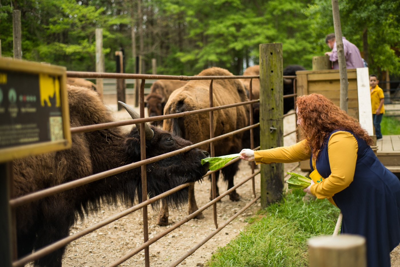 mom feeds bison lettuce during GA family photos