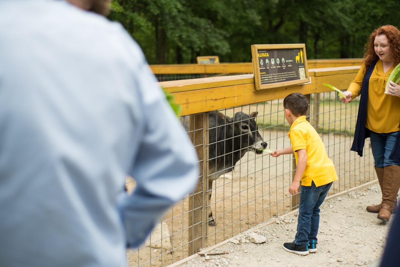 boy feeds cow during GA family photos at Yellow River Wildlife Sanctuary